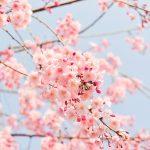 cherry-tree-1225186_1280